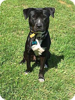 Labrador Retriever Mix Dog for adoption in East Randolph, Vermont - Chappie