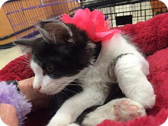 Domestic Mediumhair Kitten for adoption in Wilmore, Kentucky - Karma