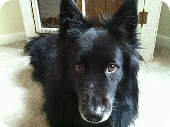 Schipperke/Corgi Mix Dog for adoption in Friendswood, Texas - Jack