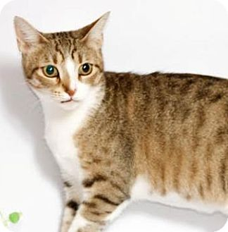 Domestic Shorthair Cat for adoption in Walworth, New York - Maria Von Trapp