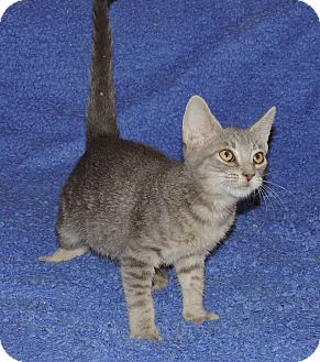 Domestic Shorthair Kitten for adoption in Plano, Texas - DIEGO - AFFECTIONATE BOY