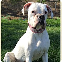 Boxer Dog for adoption in Brentwood, Tennessee - Maggie