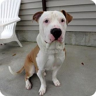 Bulldog Mix Dog for adoption in Janesville, Wisconsin - Prince