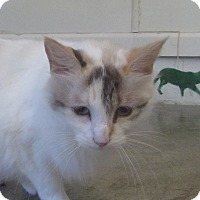 Calico Cat for adoption in Jackson, Missouri - Miracle
