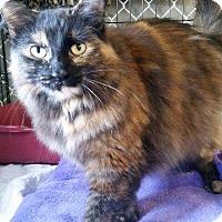 Domestic Longhair Cat for adoption in Freeport, New York - Gigi