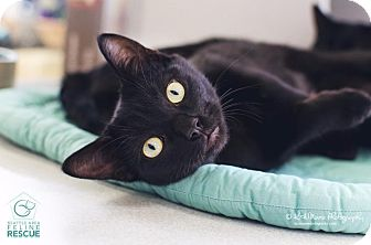 Domestic Shorthair Kitten for adoption in Shoreline, Washington - Stewart