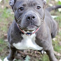 Staffordshire Bull Terrier/English Bulldog Mix Dog for adoption in Reisterstown, Maryland - Anya