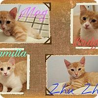 Adopt A Pet :: Orange kittens - Gilbert, AZ