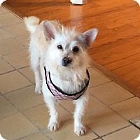 Adopt A Pet :: Snowy - Bartonsville, PA