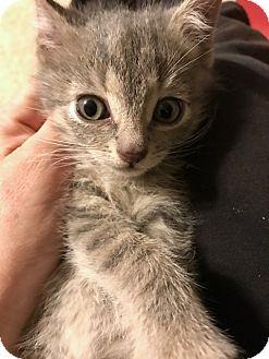 Domestic Mediumhair Kitten for adoption in Dallas, Texas - McDreamy