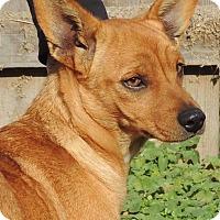 Adopt A Pet :: Bella Bear - Joplin, MO