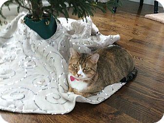 American Shorthair Cat for adoption in Fairfield, Connecticut - Honey