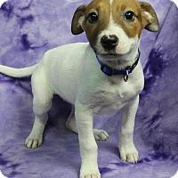 Adopt A Pet :: EVIE - Westminster, CO
