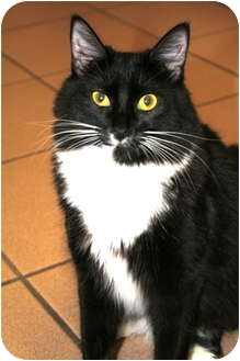 Domestic Mediumhair Cat for adoption in Naples, Florida - Tux