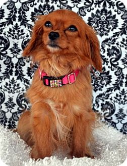 King Charles Spaniel/Cavalier King Charles Spaniel Mix Dog for adoption in Bridgeton, Missouri - Egypt