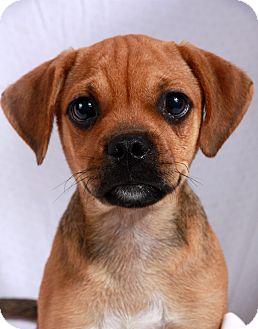 ... Beagle Mix Puppy for adption in St. Louis, Missouri - Princeton Puggle