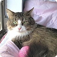 Domestic Longhair Cat for adoption in Miami, Florida - Diana