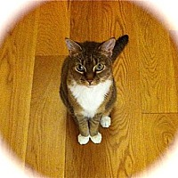 Abyssinian Cat for adoption in Los Angeles, California - Cute Miss Kitty