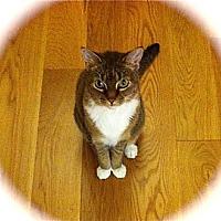 Adopt A Pet :: Cute Miss Kitty - Los Angeles, CA