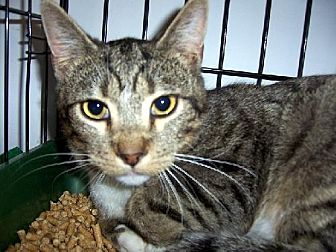 Domestic Shorthair Cat for adoption in Liberty, North Carolina - Rufus - NC