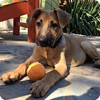 Adopt A Pet :: Riggins - Austin, TX