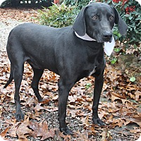 Labrador Retriever Dog for adoption in Oakland, Arkansas - Chip
