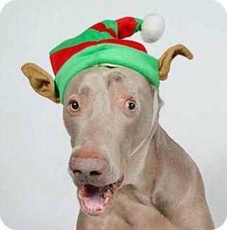 Weimaraner Dog for adoption in Birmingham, Alabama - Ezra