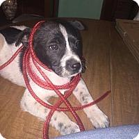 Adopt A Pet :: Katerina - Rocky Mount, NC