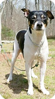 Rat Terrier Dog for adoption in Canterbury, Connecticut - Prince Zeus
