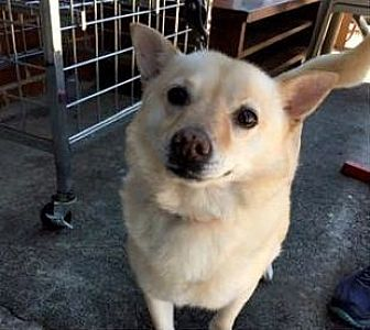 Shiba Inu Mix Dog for adoption in Stone Mountain, Georgia - Ella