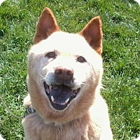 Siberian Husky/Chow Chow Mix Dog for adoption in Harvard, Illinois - Maggie Moon