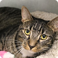 Domestic Shorthair Cat for adoption in Glendale, Arizona - Echo