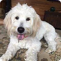 Adopt A Pet :: Lilli - Atlanta, GA