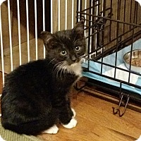 Domestic Shorthair Kitten for adoption in Wakinsville, Georgia - Kirby