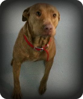 Labrador Retriever Mix Dog for adoption in Muskegon, Michigan - Missy