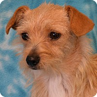 Terrier (Unknown Type, Medium) Mix Dog for adoption in Eureka, California - Rosey