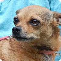 Chihuahua/Chinese Crested Mix Dog for adoption in Burlington, Vermont - Sophie(8 lb) Perfect Lil' Girl