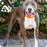 American Pit Bull Terrier Mix Dog for adoption in Windsor, Virginia - Royal