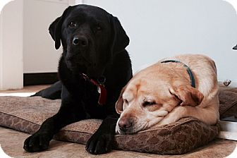 Labrador Retriever Dog for adoption in Buckeystown, Maryland - Bailey #5 & Maggie #5