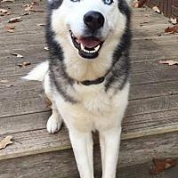 Adopt A Pet :: Orion - Dayton, MD