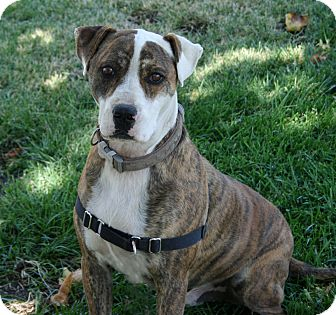 American Pit Bull Terrier/Boxer Mix Dog for adoption in Los Olivos, California - Charlie