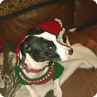 Adopt A Pet :: Bella - Va Beach, VA