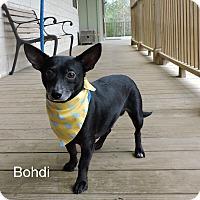 Adopt A Pet :: Bohdi - Slidell, LA