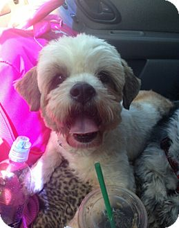 Shih Tzu Mix Dog for adoption in Encinitas, California - Kyoto