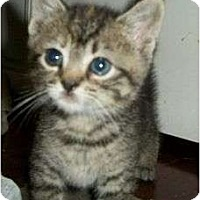 Adopt A Pet :: Nancy Drew - Reston, VA