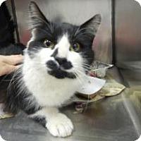 Adopt A Pet :: Bow Tie (Sweet Snuggler) - Arlington, VA