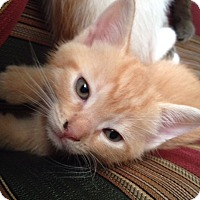 Adopt A Pet :: Autumn - Cranford/Rartian, NJ