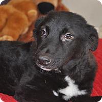Adopt A Pet :: Pluto - Tumwater, WA