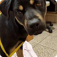 Adopt A Pet :: Laura Belle - Elyria, OH