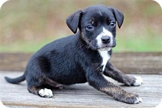 Beagle Mix Puppy for adoption in Franklin, Tennessee - BEAGLE MIX PUPPIES-FOSTERS NEEDED!